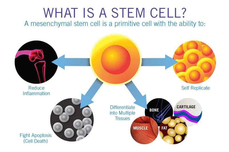 what are mesenchymal stem cells palm beach